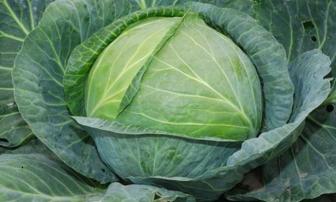 Лечить варикозное расширение вен можно с помощью капусты