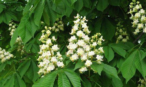 Эффективным растением при лечении варикоза является конский каштан. В лечебных целях используют цветки, т. к. в них сконцентрировано большое количество дубильных веществ