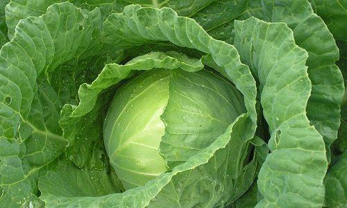 Хорошим народным методом в борьбе с варикозом является прикладывание к проблемной области компрессов из капусты