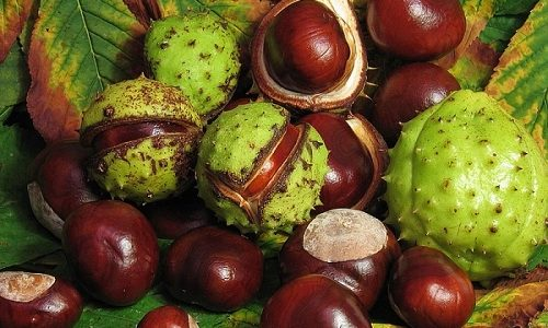 В терапии варикозного расширения вен популярностью пользуется конский каштан. Из плодов и соцветий растения готовят отвар