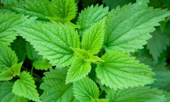 Хорошим народным средством является крапива. Для борьбы с варикозом 1 ст. л. измельченных листьев растения заваривают 1 стаканом кипятка, накрывают крышкой и настаивают до остывания