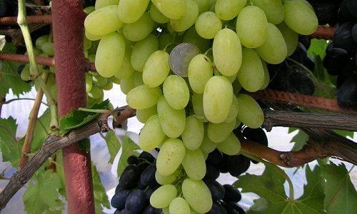 Уксус, который получают из винограда, помогает укрепит стенки сосудов, улучшить кровообращение, снять отеки и воспаления