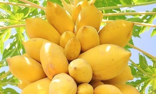 Основным источником фермента папаин являются плоды дерева папайя